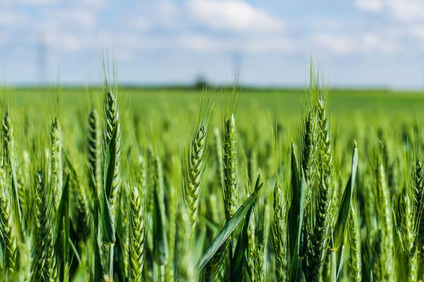 applied-public-health-green-wheat-stock