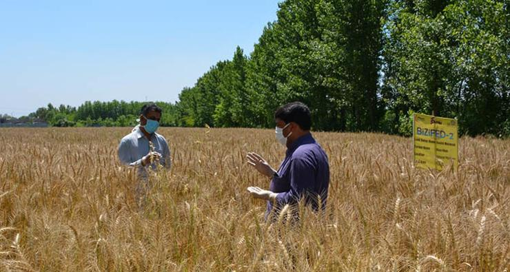 Agronomists assessing the maturity of the biofortified wheat crop