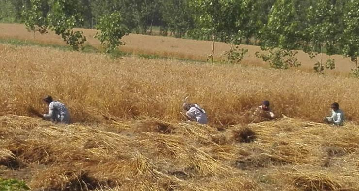 A group of men reaping the biofortified wheat crop using the traditional method