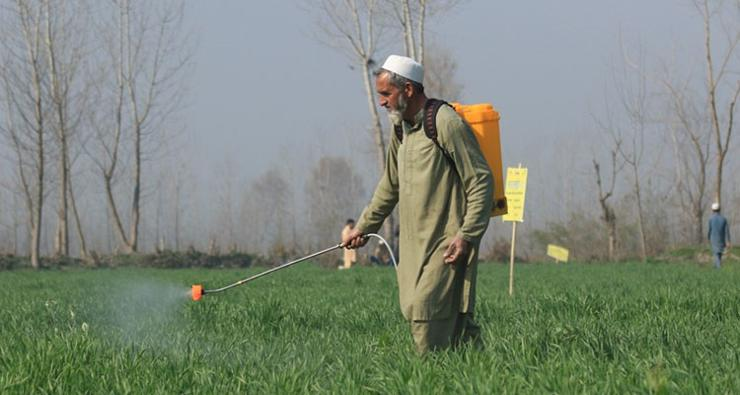 Biofortified wheat crop being sprayed with zinc sulphate to enhance the zinc concentration.